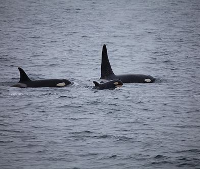 Hiszpania. Agresywne orki atakują żeglarzy i uszkadzają statki