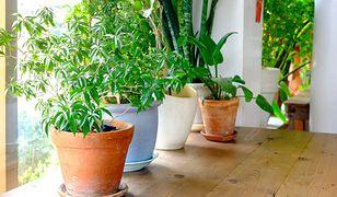 Rośliny doniczkowe to dobry sposób na naturalną jonizację powietrza.