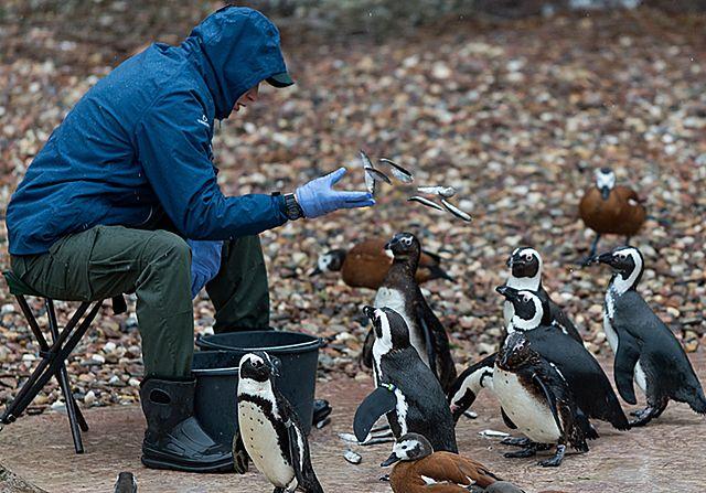 Zaadoptuj pingwinie jajo