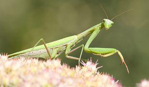 Modliszka zwyczajna to jedyny gatunek tego owada, jaki występuje w Polsce