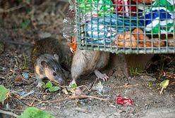 """Londyńczycy zmagają się z plagą szczurów. """"Władze nie mają żadnego planu działania"""""""