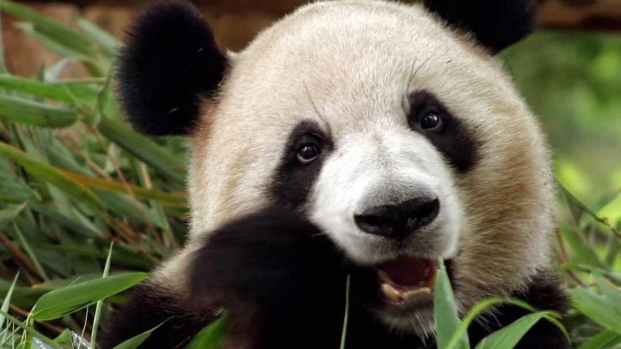 Panda 2016 to odświeżony interfejs, ulepszony silnik i wsparcie dla Windows 10