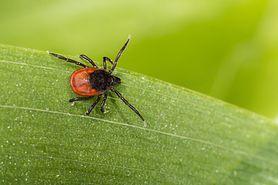 Niebezpieczne larwy kleszczy (WIDEO)
