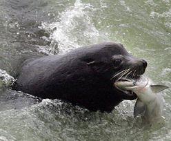 Władze USA zezwoliły na zabicie setek lwów morskich. Znamy powód