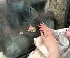 Mama przystawiła dziecko do szyby w zoo. Zdumiewająca reakcja gorylicy