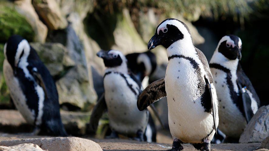 Pingwiny z depositphotos