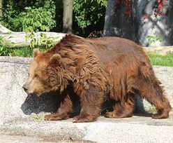 Niedźwiedzie z warszawskiego zoo opuszczą swój wybieg. W grę wchodzi bezpieczeństwo