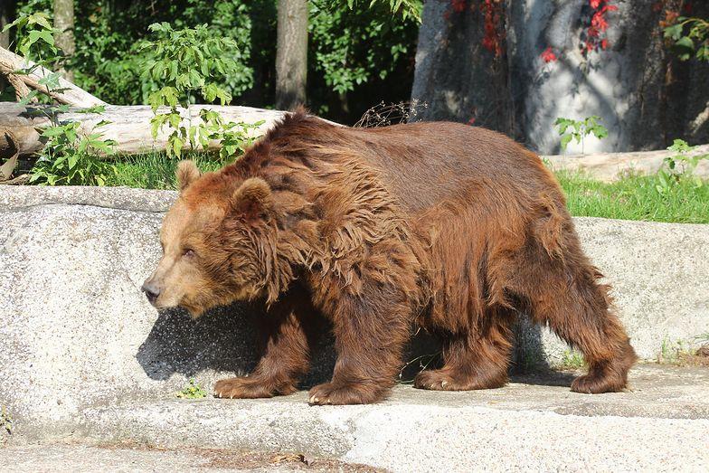 Niedźwiedzie z warszawskiego ZOO muszą zmienić miejsce pobytu. W obecnym jest niebezpiecznie