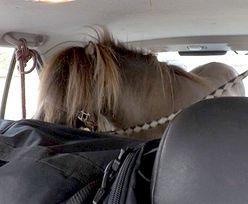 Wyczyn kierowcy wprawił policję w osłupienie. Na tylnej kanapie jechał… koń