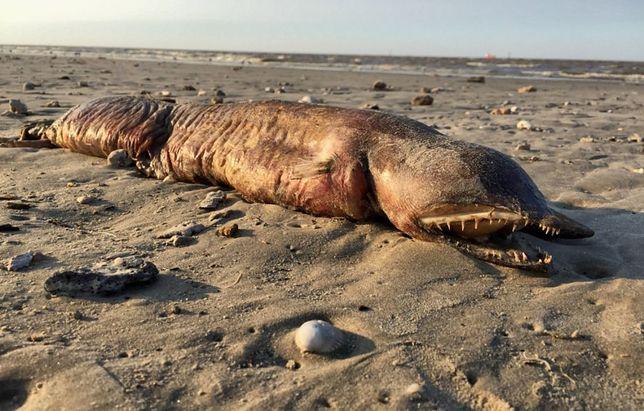 Morskie stworzenie, które Preeti Desai znalazła na jednej z amerykańskich plaż.