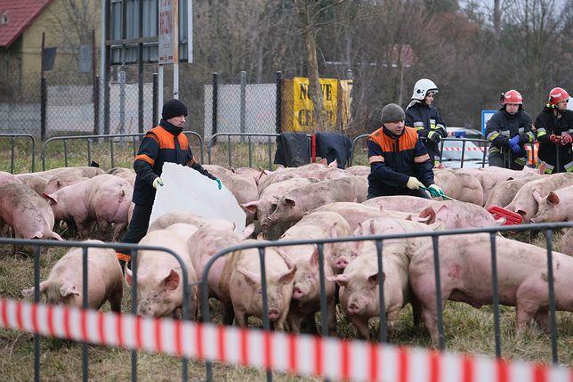 Na rondzie w Wierzbicy przewróciła się ciężarówka przewożąca świnie. Fot. Mateusz Marek