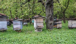 Mazowsze. Truciciel zabił 40 pszczelich rodzin