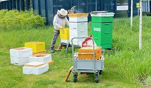 Pszczelarz wybiera miód z uli stojących wśród biurowców