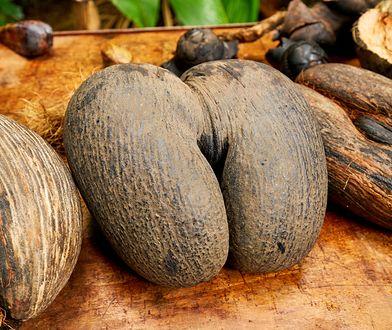 Z tego gatunku kokosa Seszelczycy są tak dumni, że umieścili jego wizerunek w swoim godle