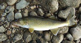 Sandacz – charakterystyka, właściwości zdrowotne, łowienie