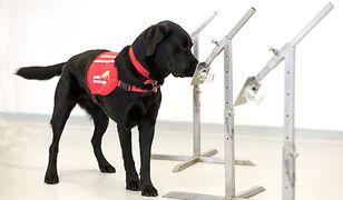 Psy wykryją chorobę, nawet gdy osoba przechodzi ją bezobjawowo
