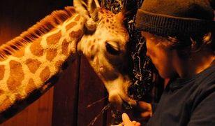 """Warszawskie ZOO walczy o zdrowie Żyrafka. """"Opiekunowie czuwają dzień i noc"""""""