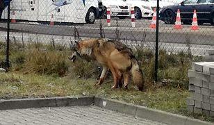 Zlęknione zwierzę na pierwszy rzut oka przypominało dużego psa