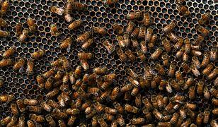 Bzyczący pomocnicy naukowców. Holenderskie pszczoły w walce z koronawirusem