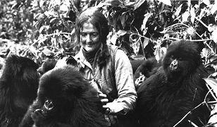 Dian Fossey - nikt nie kochał goryli bardziej niż ona