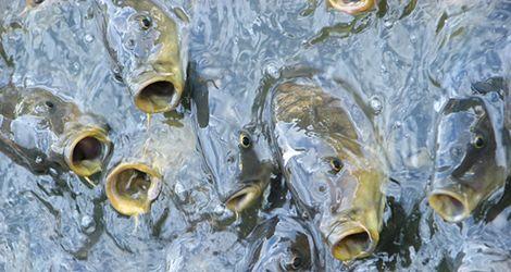 Okresy ochronne ryb
