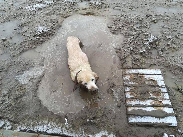Straż miejska uratowała labradora. Wyziębiony tonął w błotnistej mazi