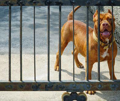 5-latka została zaatakowana przez pitbulla (zdjęcie ilustracyjne)