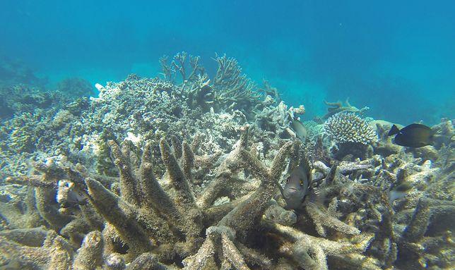 Rafy koralowe mogą stać do końca stulecia już tylko wspomnieniem,