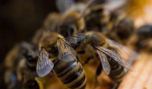 Działalność człowieka zagraża nie tylko pszczołom