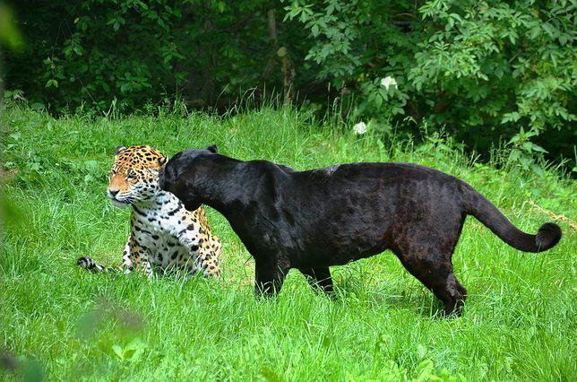 Hiszpania. Czarna pantera poszukiwana. W akcji cywile i wojsko