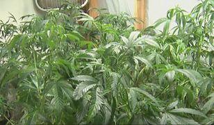 Zorganizowano tagi pracy w branży marihuanowej (WIDEO)