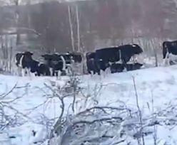 Właściciele nie żyją. Stado zdziczałych zwierząt mieszka w pobliżu Czarnobyla