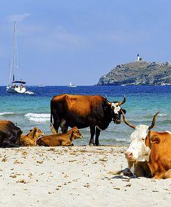 Korsyka. Agresywne krowy atakują plażowiczów