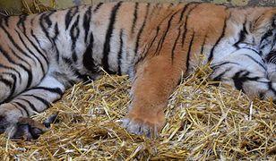 Tygrys Gogh musiał przejść operację. Miał niedrożny przewód pokarmowy