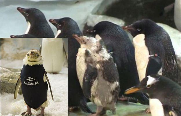 Pingwin, który stracił upierzenie, otrzymał specjalny strój zastępczy