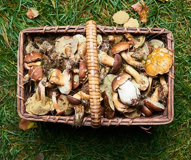 Jeśli zdarzy się, że zbierzesz grzyby na obszarze występowania ASF, to unikaj potem kontaktu z trzodą