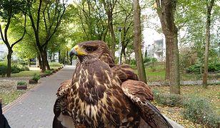 Mieszkańcy Ursynowa mają dosyć gołębi. Spółdzielnia wynajęła jastrzębia