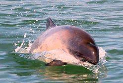 Morświn bałtycki zostanie uratowany? Jest program ochrony