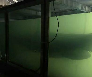 Rekin Rosie od lat pływa w opuszczonym akwarium