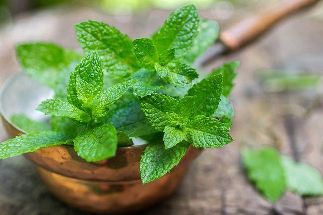 Mięta pieprzowa inaczej zwana lekarską to wyjątkowo popularne zioło w polskiej kuchni. Przepisy z miętą