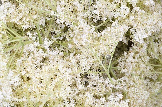 Kwiaty dzikiego bzu kryją w sobie cenne składnik