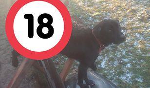 Nadziany na pręt pies musiał czekać ok. 8 godzin zanim udzielono mu pomocy.