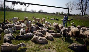 Owce stróżami lasów w Katalonii
