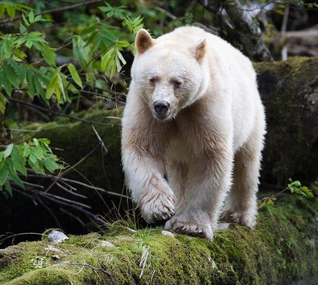 Niedźwiedzie-duchy. Kamila Kielar na tropie najrzadszych zwierząt