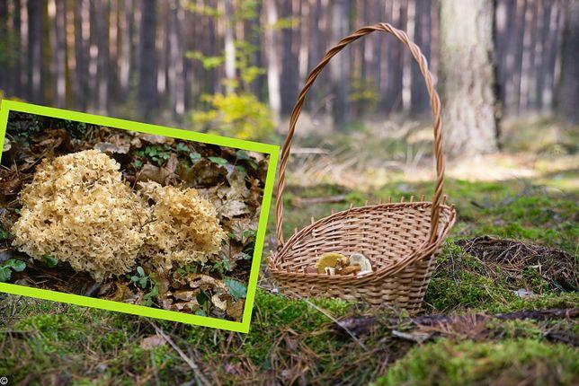 Siedzuń sosnowy staje się coraz bardziej popularny wśród grzybiarzy.