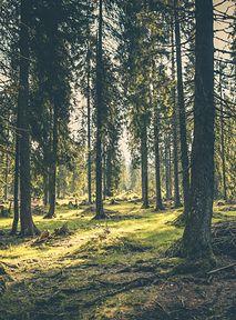 IKEA kupiła ponad 4 tys. hektarów lasu, aby ocalić go przed wycinką
