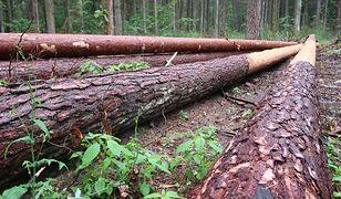 Mimo zakazu drwale wciąż tną drzewa w Puszczy Białowieskiej