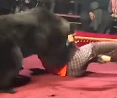 Rosja. Niedźwiedź zaatakował tresera w cyrku. Jest wideo z incydentu