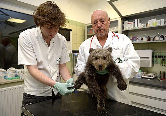 Leśnicy z Bieszczad uratowali małego niedźwiadka - zdjęcia