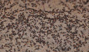 Templewo w woj. lubuskim. Mrówki kanibale w atomowym bunkrze